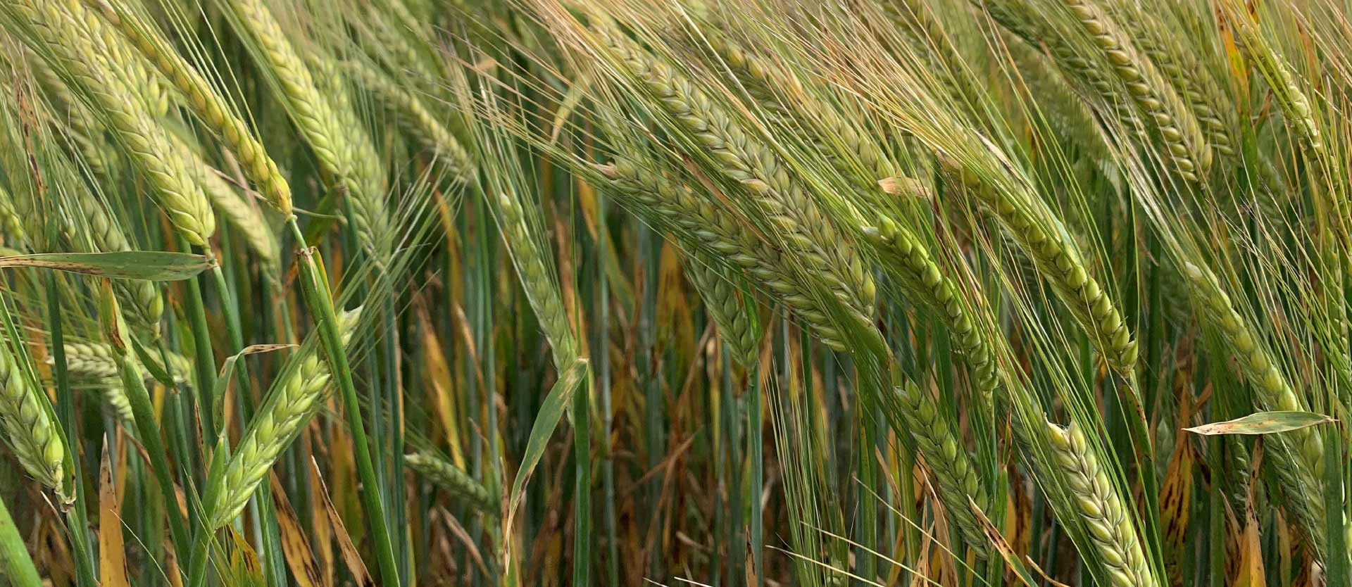 Update on Malting Barley Evaluations